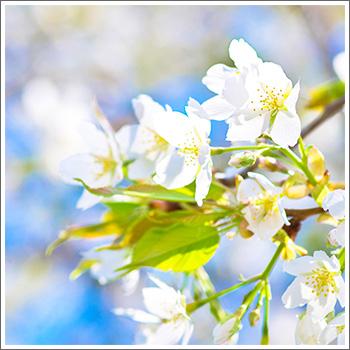 140416-Sakura